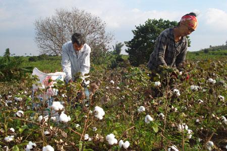 thu hoạch bông cotton